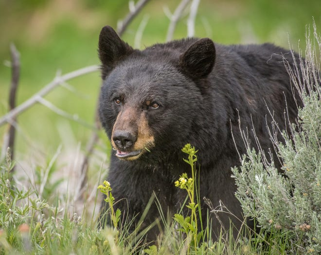 Bear, tag required, but tooth extractions on hold